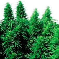 Comprar RUDERALIS SKUNK REGULAR