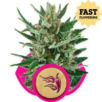 Comprar Speedy Chile (Fast Flowering)