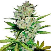 Comprar SUPER SKUNK AUTOMATIC