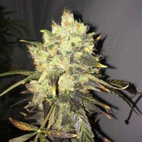 Comprar Supreme CBD Durban 5 Seeds