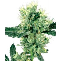 Comprar WHITE HAZE REGULAR