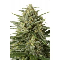 Comprar WHITE WIDOW XXL AUTO
