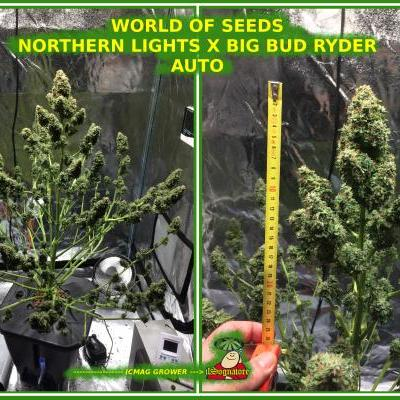 NORTHERN LIGHT X BIG BUD RYDER - AUTOFLOWERING SEEDS - WORLDOFSEEDS